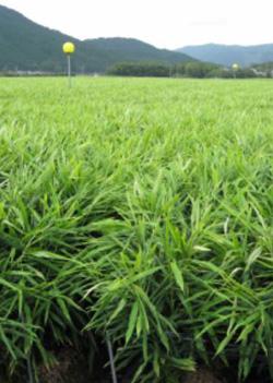 四万十川農場の生姜